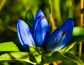 Bottle Gentian (Gentiana anderwsii)