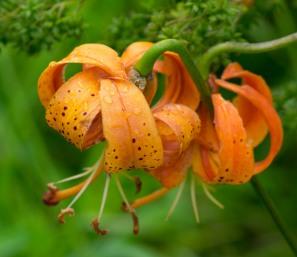 Turk's Cap Lily (Lilium michiganense)