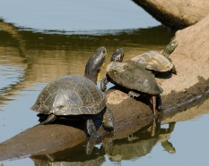 Blanding's, Painted, and False Map Turtles (Emydoidea blandingii, Chrysemys picta, Graptemys geographica)