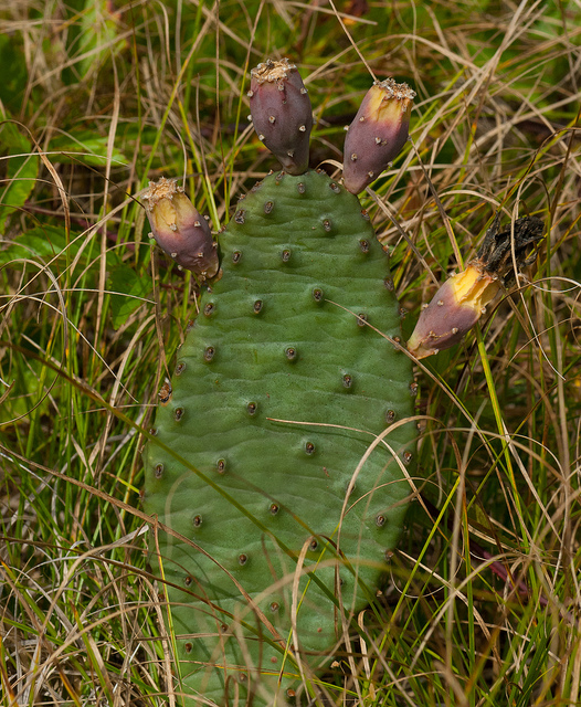 Eastern Prickly Pear Cactus (Opunita humifosa)