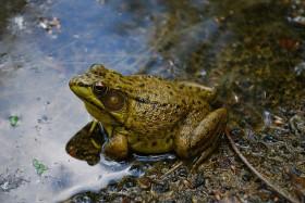American Bullfrog (Rana catesbeiana)
