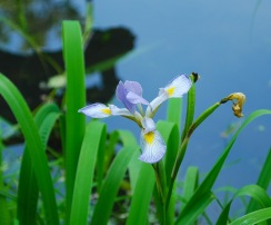 Blue Flag (Iris virginica)