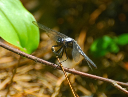 Widow Skimmer (Libellula luctosa)