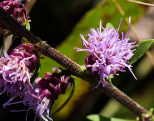 Rough Blazing Star (Liatris apsera)