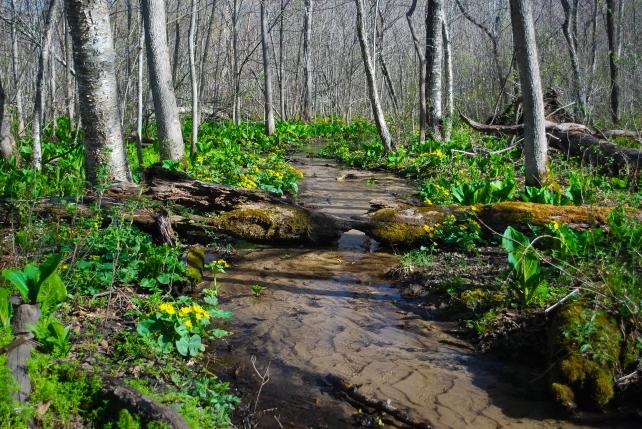 Stream through Marsh Marigolds
