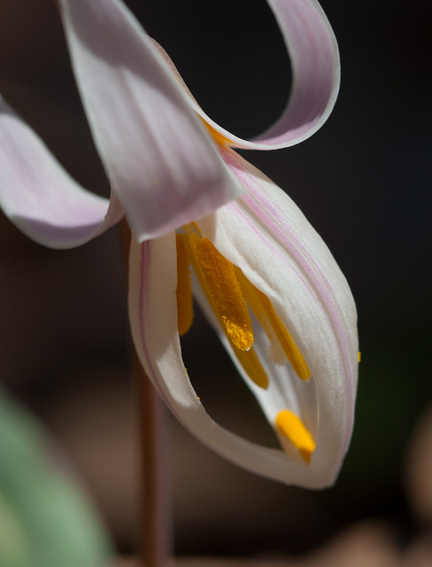 White Trout Lily