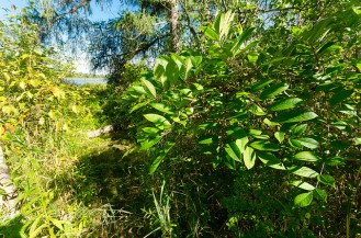Poison Sumac on the Trail