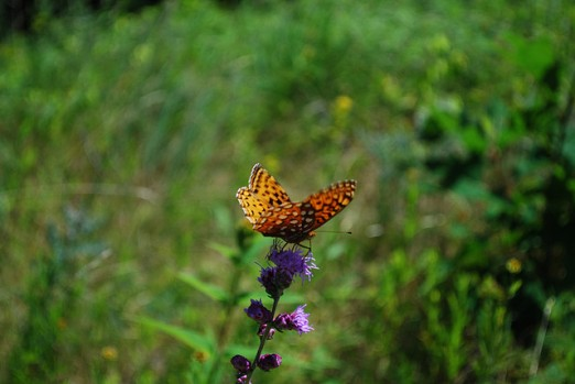 Butterfly on Blazing Star