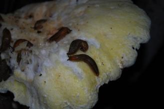Slugs on Fungus