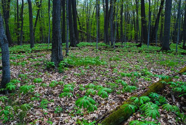Mayapples on Forest Floor