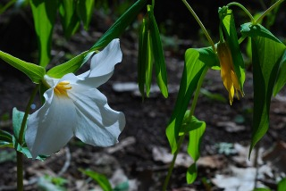 Large-flowered Trillium & Large-flowered Bellwort