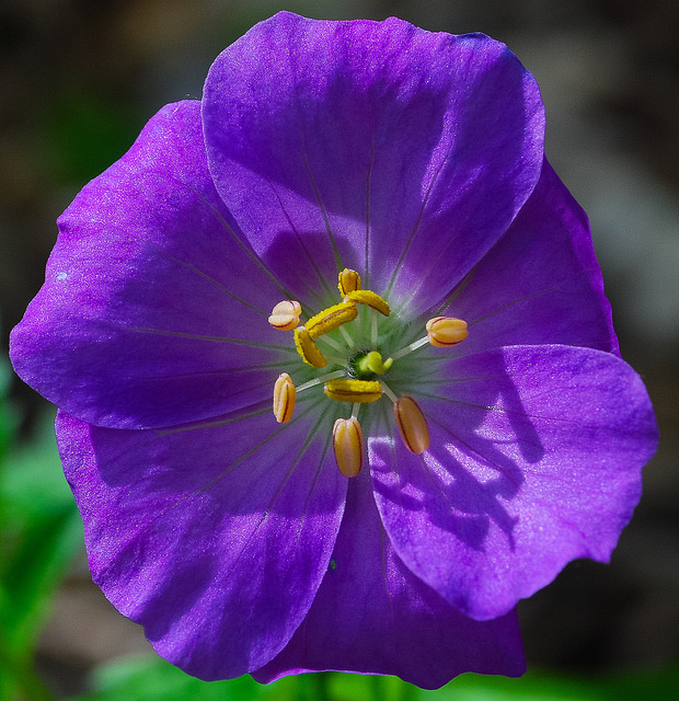 Wild Geranium