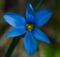 Prairie Blue-eyed Grass