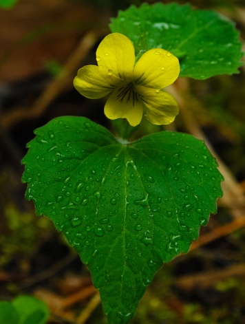 Yellow Forest Violet