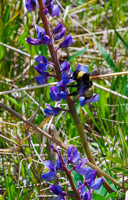Bumblebee on Wild Lupine