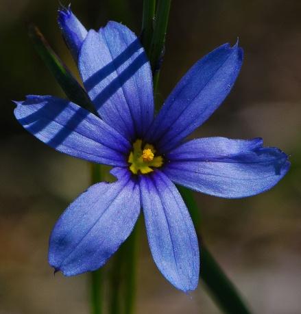Prairie Blue-eyed Grass
