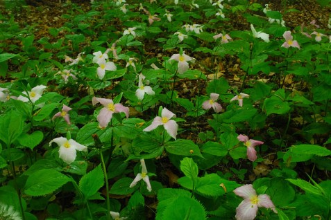 Large-flowered Trilliums