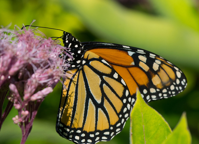Monarch Nectaring