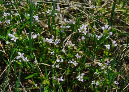 Long-leaved Bluets