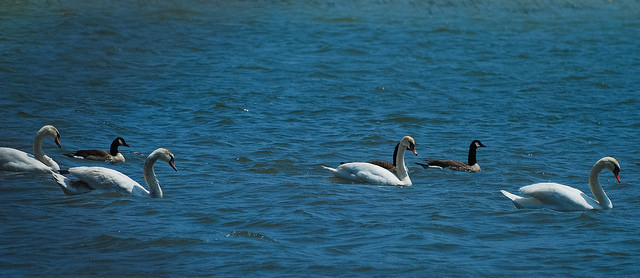 Mute Swans & Canada Geese