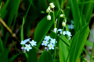 Forget-me-nots & Wild Lily-of-the-Valley