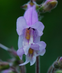Slender Penstemon
