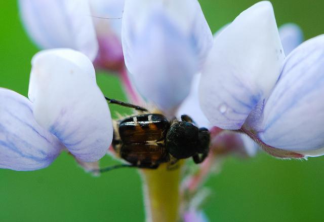Wild Lupine