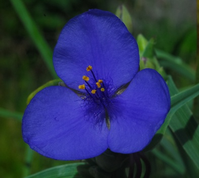 Common Spiderwort
