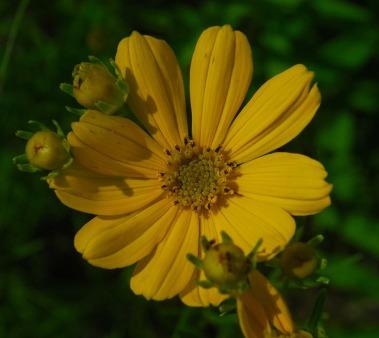 PrairieCoreopsis