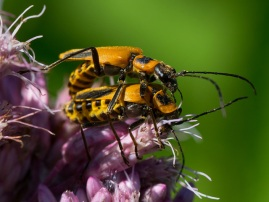 Goldenrod Soldier Beetles