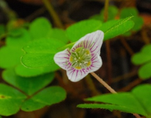 Mountain Wood Sorrel
