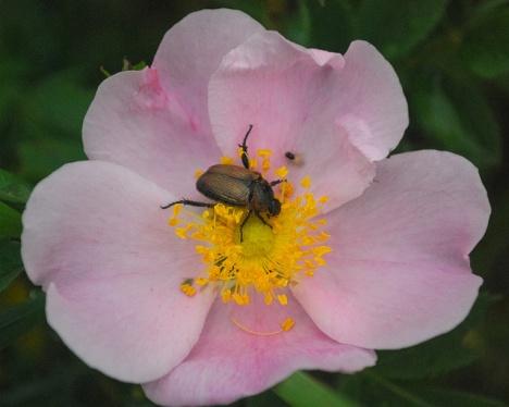 Dwarf Prairie Rose