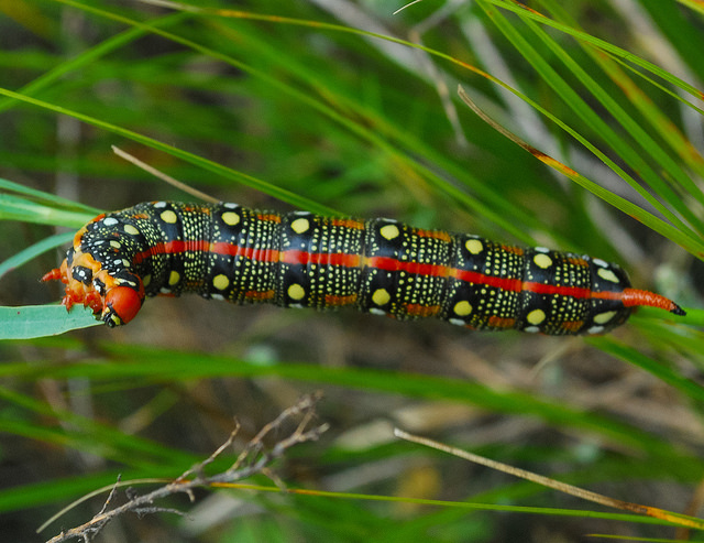 Spurge Hawk-Moth Caterpillar