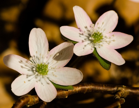 Sharp-Lobed Hepatica