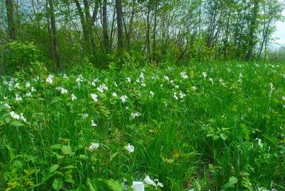 Large-Flowered Trillium