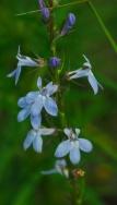 Pale-Spike Lobelia