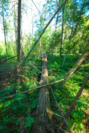 Conifer Swamp