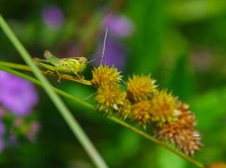 Grasshopper on Sedge