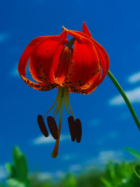 Turk's-Cap Lily