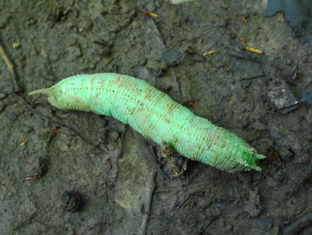 Elm Sphinx caterpillar