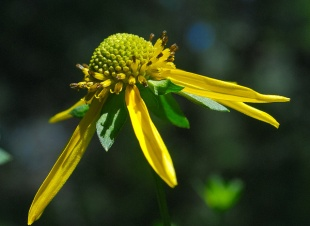 Cut-Leaved Coneflower