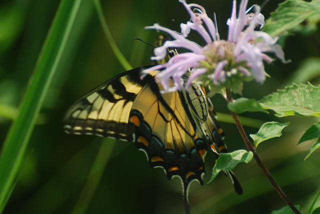 Nectaring Swallowtail