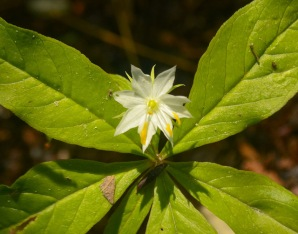 American Starflower