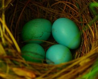Veery Nest