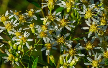 Flat-topped Aster