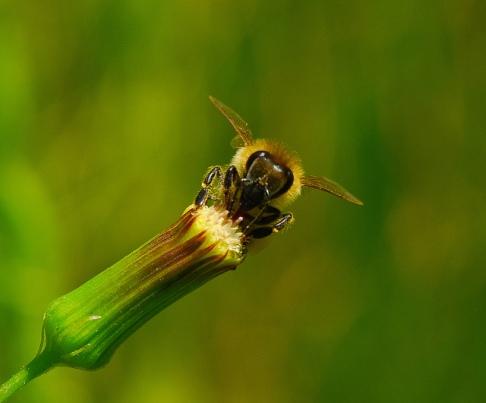 Bee on Pilewort