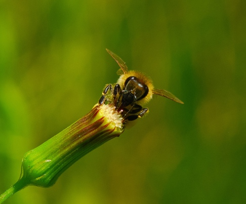 Bee on Pilewort